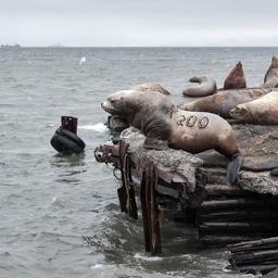 Group Steller Sea Lion on rookery. Kamchatka Peninsula Fotografía
