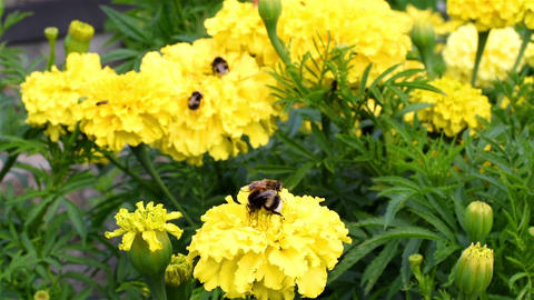 Bumblebee on a flower Archivo