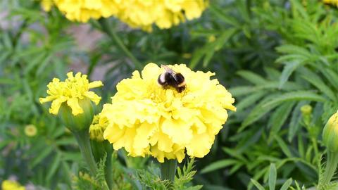 Bumblebee is working Footage