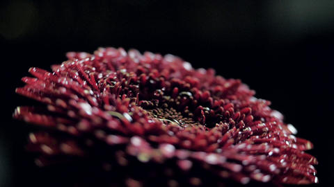 closeup wine red flower with drops on petals turns at light GIF