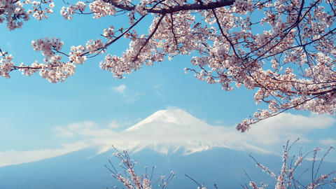 Sakura Flowers with Fuji Mountain on blue sky Live Action