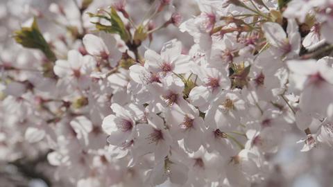 Somei yoshino sakura tree in springtime Footage