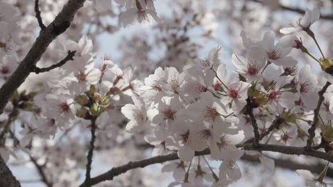 Close up of japanese sakura are full bloom in the wind Footage