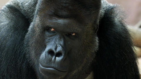 Portrait of male Gorilla, Silver backed Male Gorilla. The gorilla looks into the Live Action
