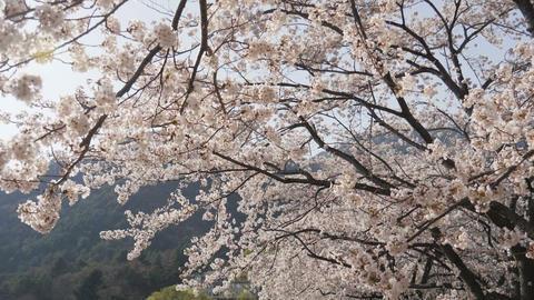 Japanese sakura in the wind Footage