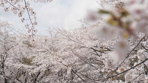 Somei yoshino sakura at park in spring season Footage