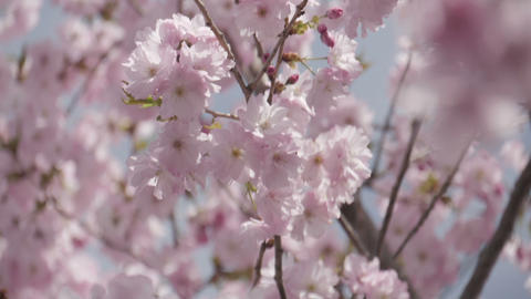 Close up japanese sakura blooming in the wind slow motion Footage