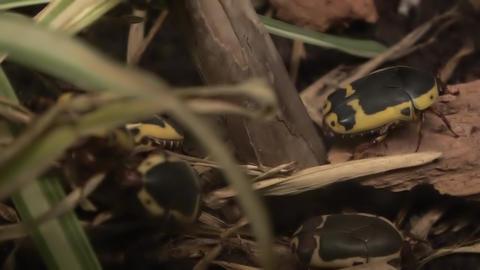 Pachnoda Sinuata also called garden fruit chafer Footage