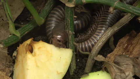 Giant Millipede . head, mouth, jaws eating Footage