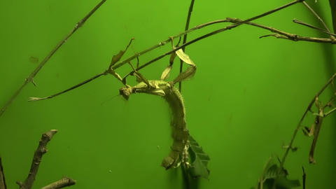 Walking stick insect eating leaf, close up, macro Footage