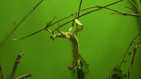 Walking stick insect eating leaf, close up, macro Stock Video Footage
