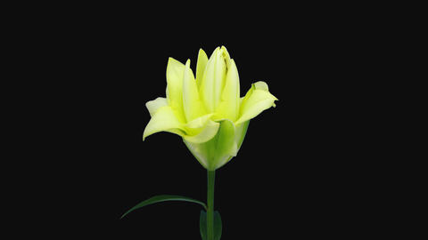 Time-lapse of opening yellow lily flower with ALPHA channel Archivo