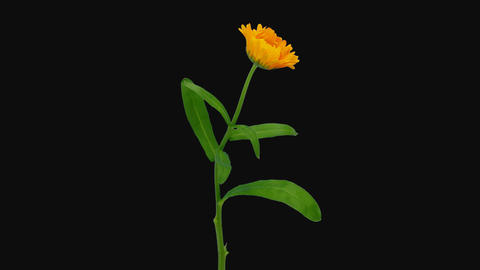 Time-lapse of opening calendula flower, 4K with ALPHA channel Archivo