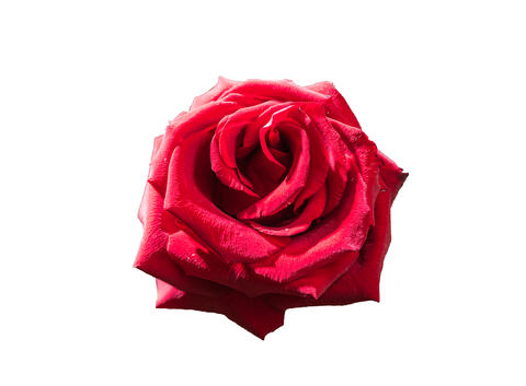 Red rose single flower isolated on white background Fotografía