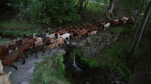 erd of goats crossing a river with a small waterfall 영상물