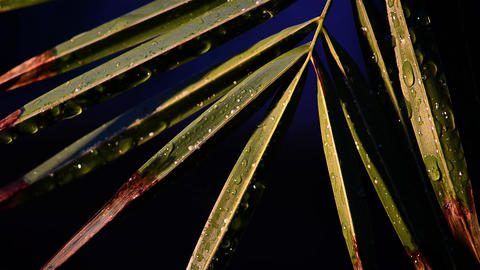 Palm branch on which sit many drops of water 2 Footage
