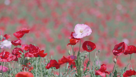 Shirley Poppy Flowers,at Showa Memorial Park,Tokyo,Japan,Filmed In 4K stock footage