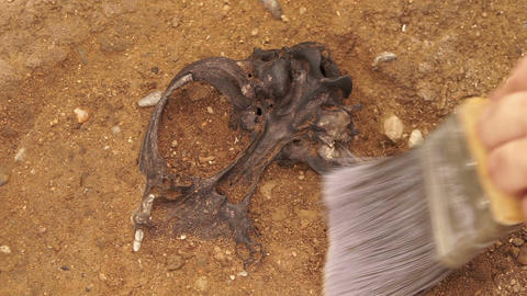 Anthropologist Excavates a Skull Bone Footage
