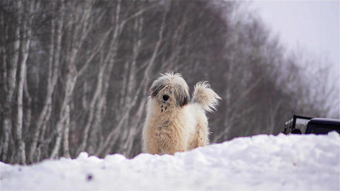 Dog with white fur sitting in the forest covered with snow and barks at passersb Footage