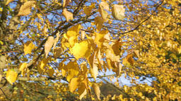 Yellow Colored Autumn Leaves on Sunny Day Footage