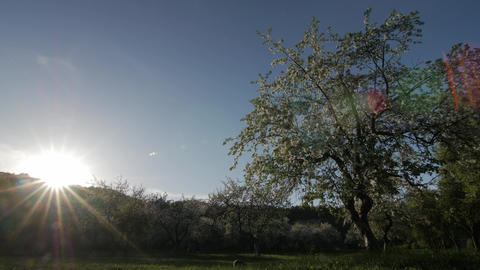 White flowers, sun on a apple blossom, apple blossom on a sunset Live Action