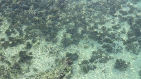 Stingray swimming Footage