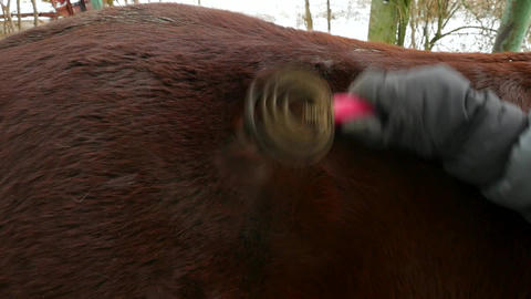 Person brushing muddy horse fur. Grooming of animal after ride. Rural farm Footage