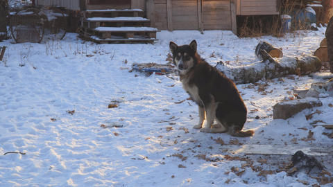 Chain dog mongrel sitting in snow Footage