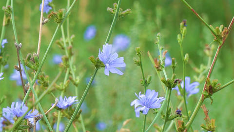 Blue flowers on natural background. Flowers of wild chicory endive ビデオ