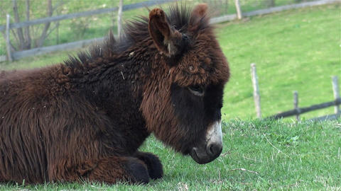 Donkey with brown fur sitting on the field and scratching the earth covered with Footage