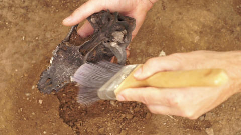 Anthropologist Brushes Off Skull Bone In Hand stock footage