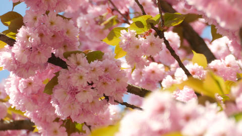 Sacura Blossom Shallow Dof stock footage