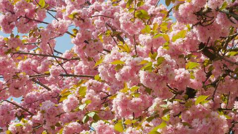 Sacura Blossom Pan Shot Live Action