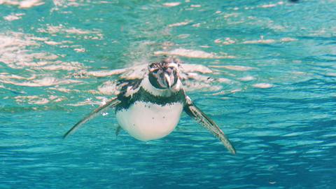 Humboldt Penguin (Spheniscus Humboldti) Footage