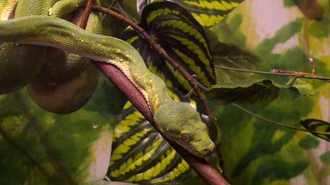 Green Tree Python Footage