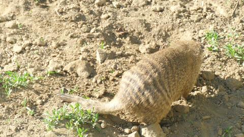 Banded Mongoose (Mungos Mungo) Footage