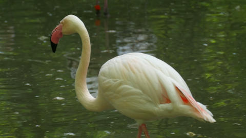 African Pink Flamingo Preening Its Feathers Footage