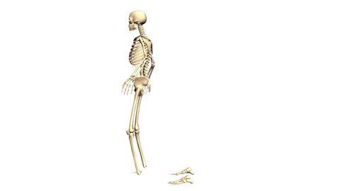 Animated Skeleton Rotating on White background and Static on White background Animation