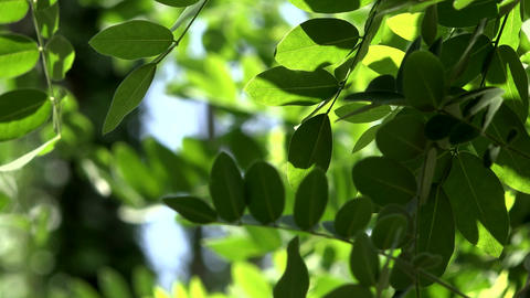 Close up of acacia leaves green background with sun.... Stock Video Footage