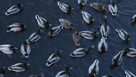 Flock wild ducks winter Footage