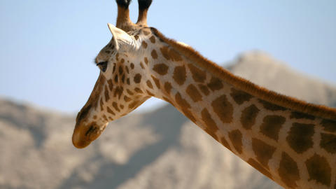 Portrait of giraffe walking Stock Video Footage