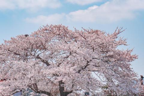 Cherry blossom tree on blue sky フォト
