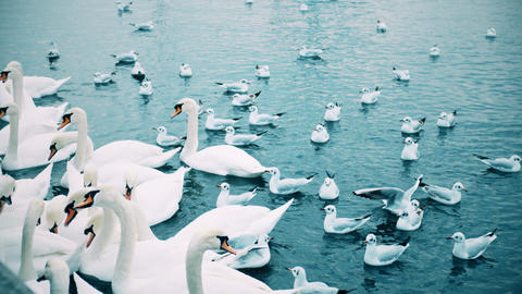 Feeding swans and seagulls on the Limmat river, slow motion shot. Zurich Footage
