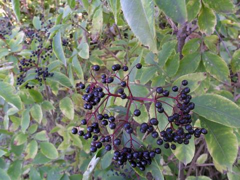 Elderberry nature background Photo