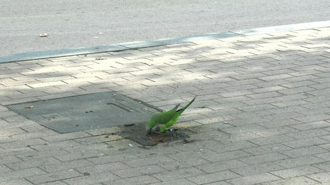parrot drinking water on the pavement Footage