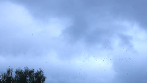 Many birds (hooded crow) whirl in sky in evening hour Footage