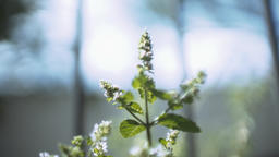 Pigweed Plant in Soft Focus Live Action