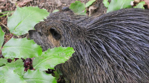 Nutria on banks of canal, search for food Live Action
