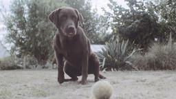 Brown Labrador Retriever in Backyard Live Action
