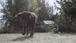Brown Labrador Dog Playing With Ball in Backyard Garden Live Action